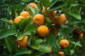 Citrus gardening