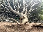 toppled tree